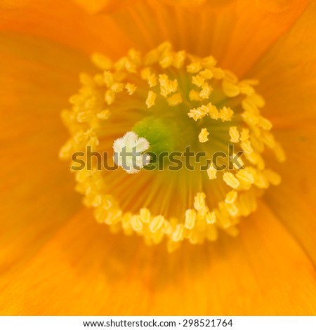 A macro shot of a Welsh poppy. - stock photo