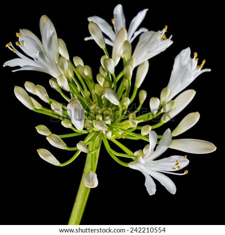A macro shot of a white agapanthus flower head shot against a black background. - stock photo