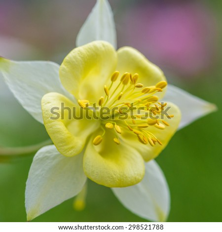 A macro shot of a yellow aquilegia bloom. - stock photo