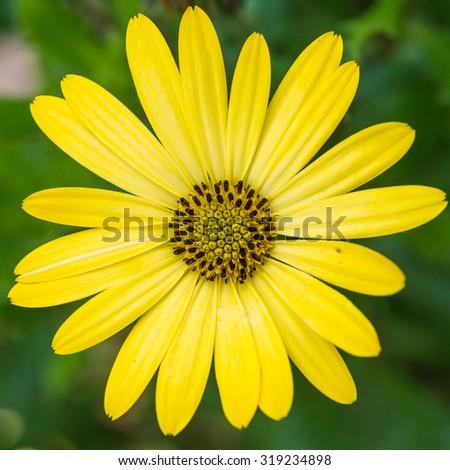 A macro shot of a yellow osteospermum bloom. - stock photo
