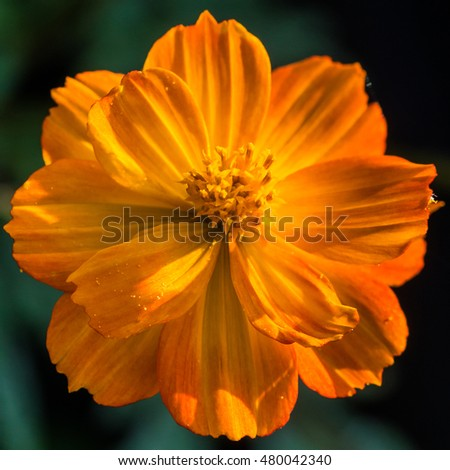 A macro shot of an orange cosmos 'bright lights' bloom.