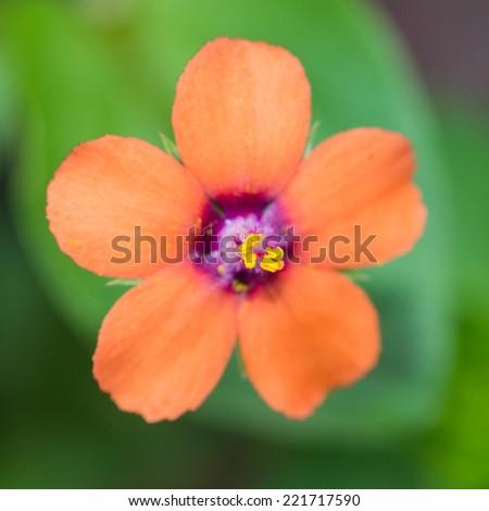 A macro shot of an orange 'scarlet pimpernel' bloom. - stock photo