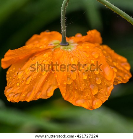 A macro shot of an orange Welsh poppy bloom covered in raindrops. - stock photo