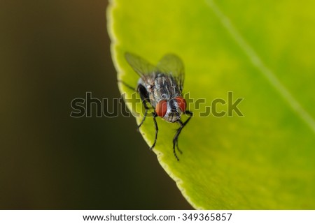 A macro shot of fly on a leaf green background . Live house fly .Insect close-up.