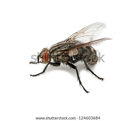 A macro shot of fly on a white - stock photo