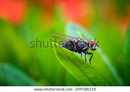 A macro shot of fly Red Eyes