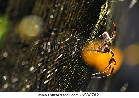 a macro shot of golden silk orb-weaver spider (Nephila clavipes) over their web - stock photo