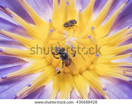 A Macro Shot of Half Lotus Flower Pollen with Bee inside, flower pollination for nature background, nature flower backgrounds, background texture purple, Lotus Flower Macro - stock photo