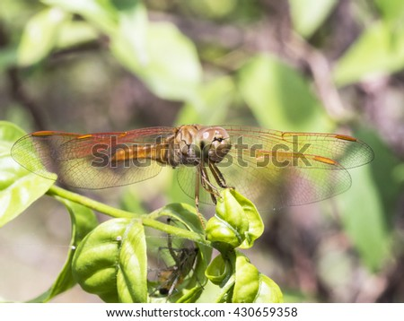 A Macro Shot of Red Dragonfly spreading Wings looking right for Insects Collections and Macro Nature Backgrounds. - stock photo