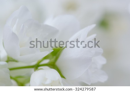 A macro shot of romantic white jasmine flowers