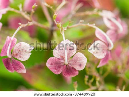 A macro shot of some autumnal looking hydrangea bracts. - stock photo