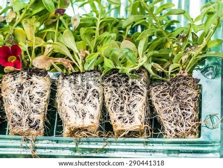 A macro shot of some calibrachoa plug plant roots. - stock photo