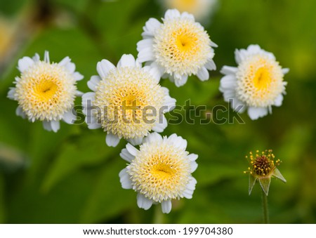 A macro shot of some feverfew blooms. - stock photo