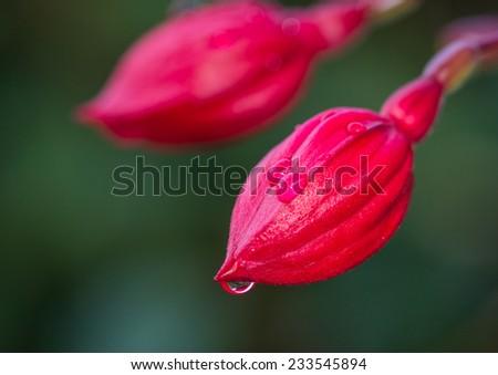 A macro shot of some fuchia flower buds. - stock photo