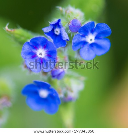 A macro shot of some green alkanet blooms.