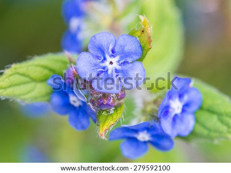 A macro shot of some green alkanet blooms. - stock photo