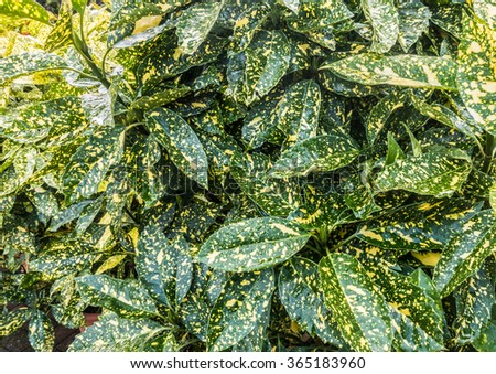 A macro shot of some green spotted coloured aucuba bush leaves. - stock photo