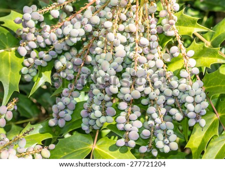 A macro shot of some mahonia japonica bush berries. - stock photo