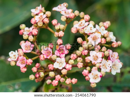 A macro shot of some small springtime viburnum blooms. - stock photo
