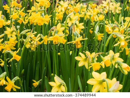 A macro shot of some small yellow daffodil blooms. - stock photo