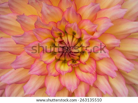 A macro shot of the centre of a dahlia bloom. - stock photo