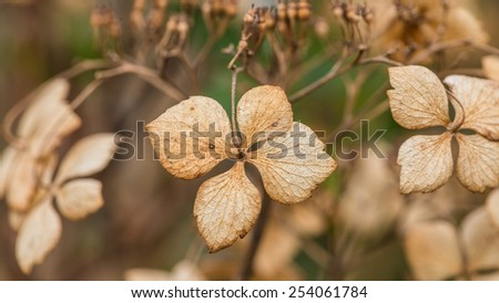 A macro shot of the decaying bracts of a hydrangea bush. - stock photo