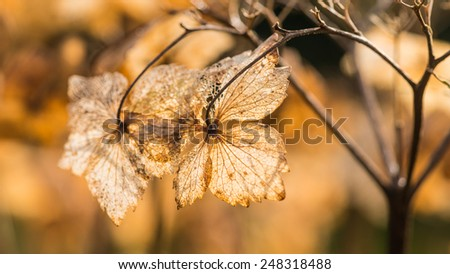 A macro shot of the decaying remains of a hydrangea bract. - stock photo