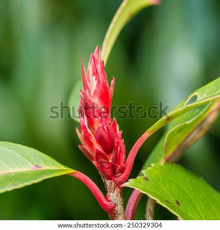A macro shot of the new growth of a red robin bush. - stock photo