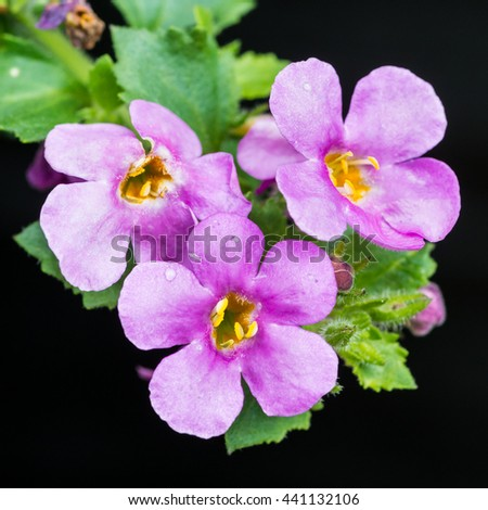 A macro shot of the pink blossom of a bacopa plant against a black background.