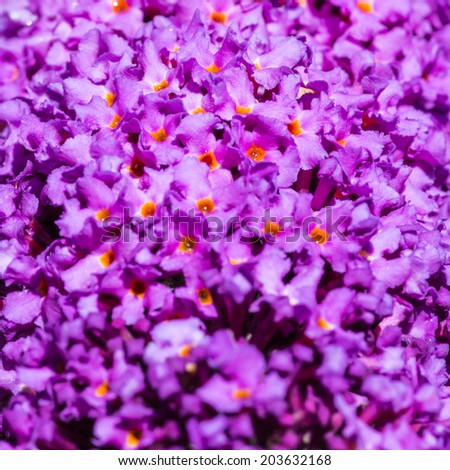 A macro shot of the purple blooms of a butterfly bush. - stock photo