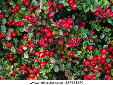 A macro shot of the red berries of a cotoneaster bush. - stock photo