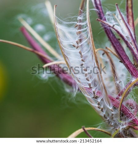 A macro shot of the seed dispersal mechanism of a great willowherb plant. - stock photo