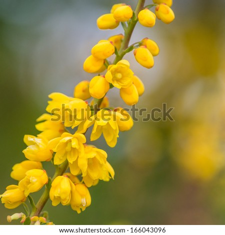 A macro shot of the yellow blooms of a mahonia japonical shrub.