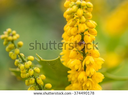 A macro shot of the yellow flowers of a mahonia japonica bush. - stock photo