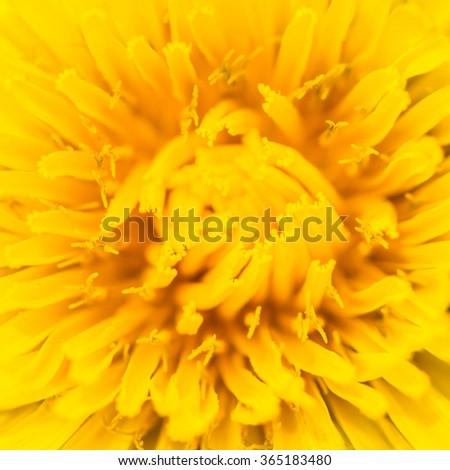 A macro shot taken deep inside a dandelion flower. - stock photo