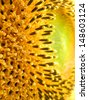 A macro side view of a giant sunflower. - stock photo