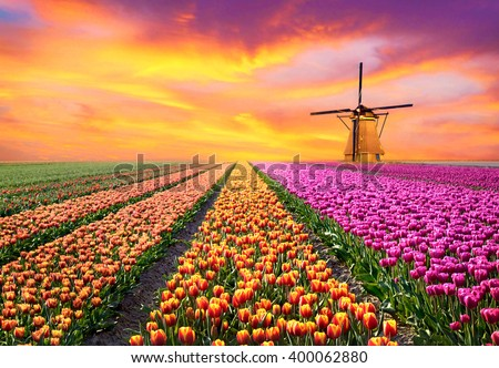 A magical landscape with sunrise over tulip field in the Netherlands (relaxation, meditation, stress management - concept) - stock photo