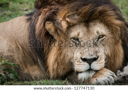 A magnificent Male Lion (Leo panthera) relaxes on the Masai Mara - stock photo
