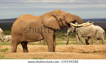 A magnificent 'Tusker' bull elephant drinking at a waterhole in the Addo Elephant National Park.