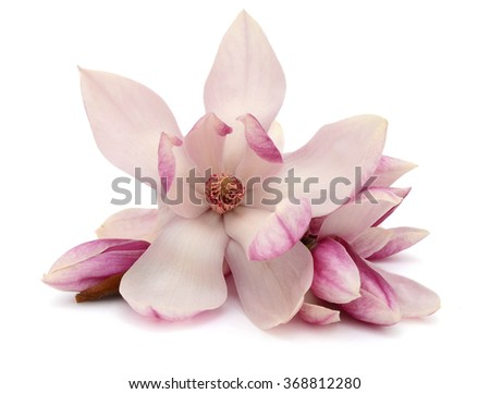 A magnolia blossom on white background - stock photo