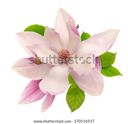 A magnolia blossom on white background