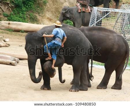 a mahout is climbing elephant, Chiang Mai, Thailand - stock photo