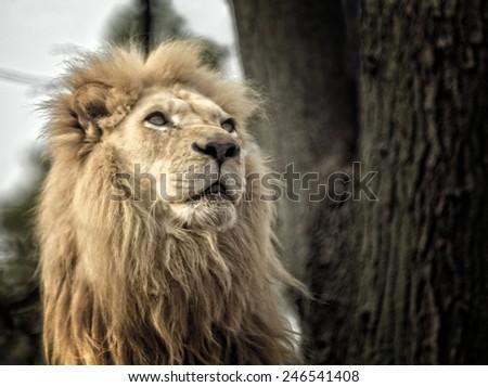 A majestic and proud Lion portrait.  - stock photo