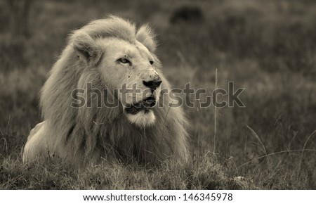 A majestic endangered large adult male white lion looks into the distance. This black and white image was taken at Pumba game reserve,eastern cape,south africa. - stock photo