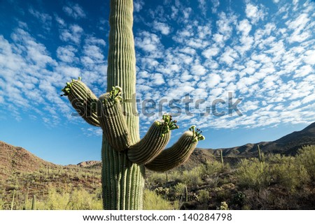 A majestic Saguaro cactus towers above the colorful Sonoran desert landscape beneath a canopy of white clouds. - stock photo