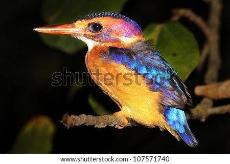 A Malachite Kingfisher (Alcedo cristata) rests on the banks of the Nile River in Uganda, Africa. Isolated on black with plenty of space for text. - stock photo