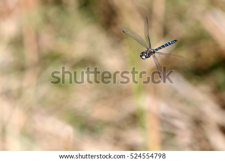 A male Aeshna mixta migrant hawker dragonfly in flight in the Petres Gorge, Crete, Greece, in mid-November, 2016.