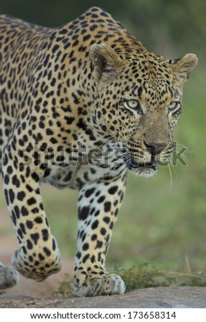 A male African Leopard hunting in South Africa's Mala Mala Private Game Reserve - stock photo