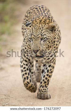 A male African Leopard walking in South Africa's Mala Mala Private Game Reserve