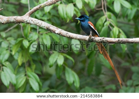 A male African Paradise Flycatcher (Terpsiphone viridis) perched on a branch - stock photo